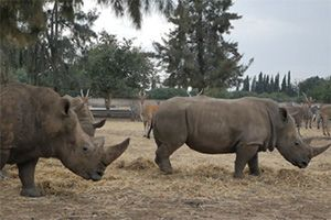 image: Russia Israel Rhinoceroses Southern White Rhino project air freight shipment Volga-Dnepr Airlines
