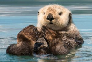 image: UK Sea Otters logistical challenge chartered aircraft London Heathrow Alaska Wild Life centre conservation de-sexed