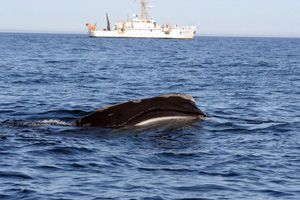 image: North Atlantic right whale NOAA all vessels restrictions US MSC container shipping lines