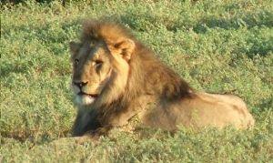 image: lion