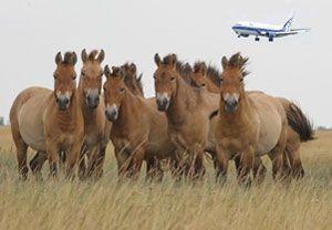 image: Przewalski horses Russia Urals France air freight specialist airline Volga-Dnepr Airbridge