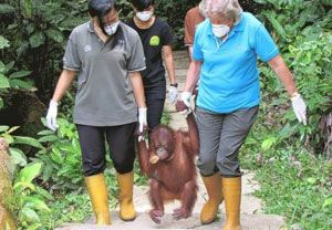 image: UK Borneo Indonesia supply chain logistics Orang-utan Appeal UK (OAUK)