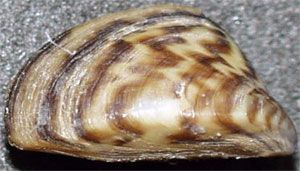 image: Zebra mussel Liberian Greek vessel ship US coastguard Non-Indigenous Species Act Aquatic Nuisance Prevention and Control Pollution Ports and Waterways Safety Polembros territorial waters ballast rudder top hatch cover inspection oil Rear Admiral Mary Landry Eighth District commander