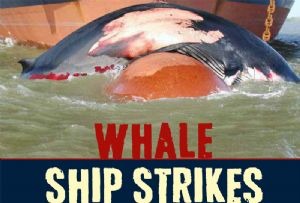 image: Cetaceans, whales, ship, strikes, Friend of the Sea, shipping, lines, fishing fleets, cruise,