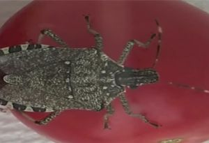image: Australia Brown Marmorated Stink Bug freight forwarders shippers importers shipping line cargo vessel