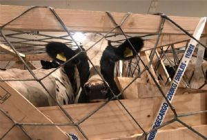 image: US Thailand heifers air freight cargo Boeing 747-8 ABC airlines Animal Transportation Association