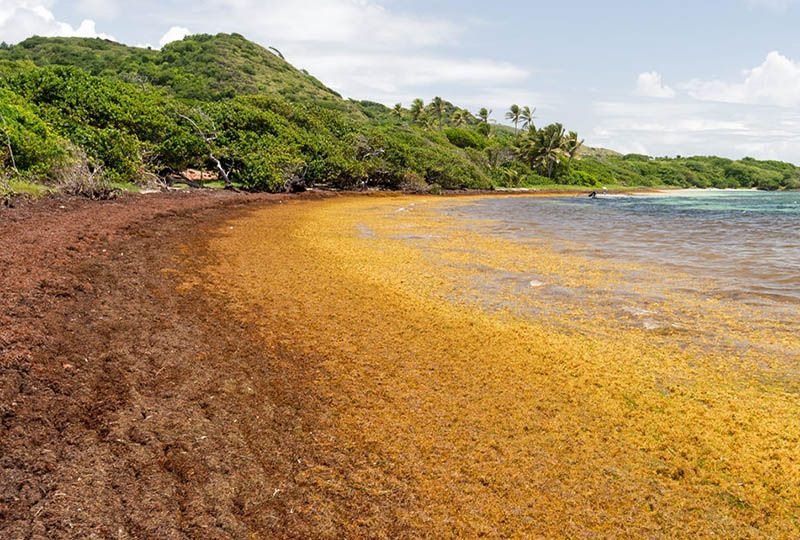 image: Caribbean Sargassum seaweed Damen Shipyards holistic solution Maris Projects